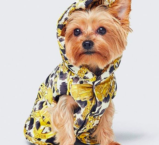 Fashionable dogs, if they wear Moschino